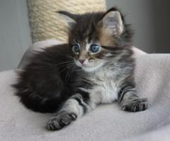 Foto 2 Maine Coon Kitten und Youngsters