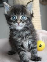 Foto 4 Maine Coon Kitten und Youngsters