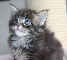 Foto 5 Maine Coon Kitten und Youngsters