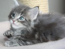 Foto 6 Maine Coon Kitten und Youngsters