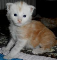 Maine Coon Kitten in rot und rot-silber
