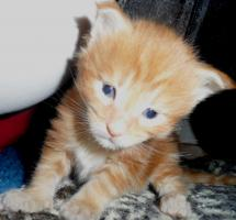 Foto 2 Maine Coon Kitten in rot und rot-silber