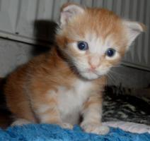 Foto 3 Maine Coon Kitten in rot und rot-silber