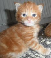 Foto 4 Maine Coon Kitten in rot und rot-silber
