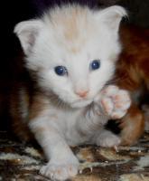 Foto 5 Maine Coon Kitten in rot und rot-silber