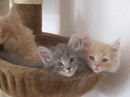 Maine Coon Kitten zu verkaufen