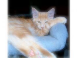 Maine Coon Kitten , 14 Wochen