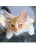 Foto 2 Maine Coon Kitten , 14 Wochen