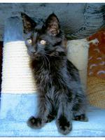 Foto 3 Maine Coon Kitten , 14 Wochen