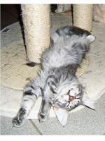 Foto 4 Maine Coon Kitten , 14 Wochen