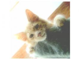 Foto 8 Maine Coon Kitten , 14 Wochen