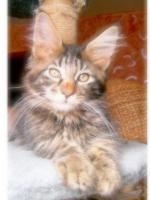 Foto 10 Maine Coon Kitten , 14 Wochen
