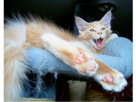 Foto 11 Maine Coon Kitten , 14 Wochen