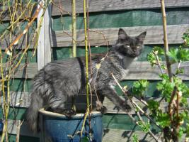 Foto 5 Maine Coon Kitten  / Kastrat