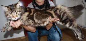 Foto 2 Maine Coon Kitten - Zucht- und Showgeeignet