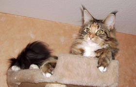 ***  Maine Coon Lady  ***