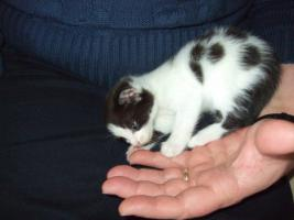 Maine Coon Mischlings-Kitten abzugeben