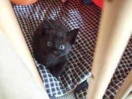 Foto 4 Maine Coon Mischlings-Kitten abzugeben