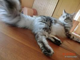 Maine Coon Silverlady