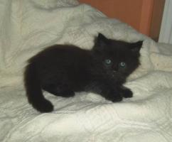 Foto 7 Maine Coon kitten