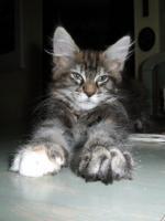 Foto 5 Maine coon kitten mit Papiere