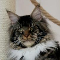 Foto 4 Maine coon kitten - pedigree FIFE