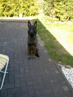 Malinois Welpen - Belgischer Schäferhund