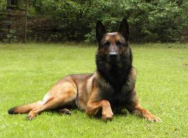 Foto 2 Malinois Welpen - Belgischer Schäferhund