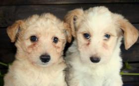 Foto 3 Malteser-Pudel-Sheltie Mischlinge
