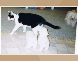 Foto 2 Malteser Welpen kleine weiße Eisbärchen
