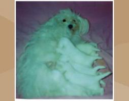 Foto 6 Malteser Welpen kleine weiße Eisbärchen