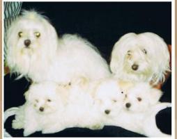 Foto 7 Malteser Welpen kleine weiße Eisbärchen