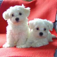 Malteser, Yorki und Chihuahua Welpen zu verkaufen