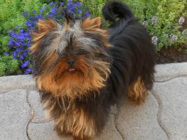 Foto 3 Malteser, Yorki und Chihuahua Welpen zu verkaufen