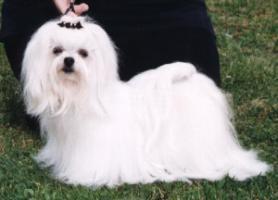 Maltezer-Hund