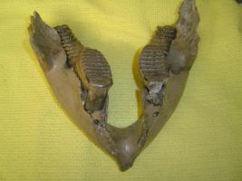 Mammut Baby-Unterkiefer, Mammutzahn, Fossilien