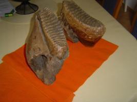 Foto 4 Mammut Unterkiever, Mammut Backenzähne, Eiszeit Fossilien