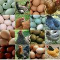 Maranshühner nachzüchtung Geimpft entwurmt abzugeben
