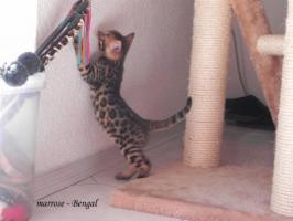 ''Marrose'' Bengal Kitten aus liebevoller Hobbyzucht