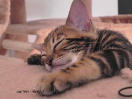 Foto 4 ''Marrose'' Bengal Kitten aus liebevoller Hobbyzucht