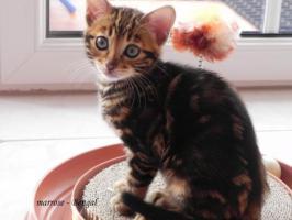Foto 5 ''Marrose'' Bengal Kitten aus liebevoller Hobbyzucht