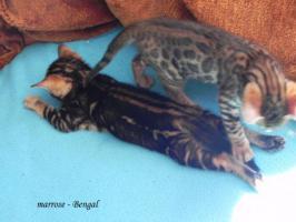 Foto 8 ''Marrose'' Bengal Kitten aus liebevoller Hobbyzucht