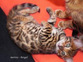 Foto 10 ''Marrose'' Bengal Kitten aus liebevoller Hobbyzucht