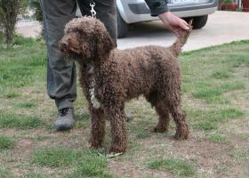 Master Field FCI 5177-Lagotto Romanoglo und Rottweiler