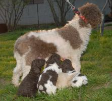 Foto 2 Master Field FCI 5177-Lagotto Romanoglo und Rottweiler