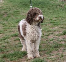 Foto 3 Master Field FCI 5177-Lagotto Romanoglo und Rottweiler