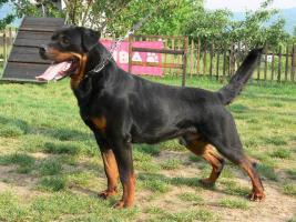 Foto 4 Master Field FCI 5177-Lagotto Romanoglo und Rottweiler