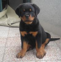 Foto 5 Master Field FCI 5177-Lagotto Romanoglo und Rottweiler