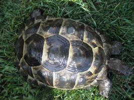 Foto 3 Maurische Landschildkröte Männlich