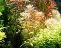 Meerjungfrauenpflanze, RARITÄT, Aquarienpflanzen, Versand